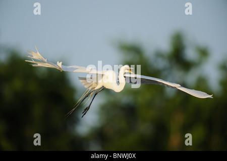 Great Egret ( Ardea alba),adult in flight, Fennessey Ranch, Refugio, Coastal Bend,Texas Coast, USA - Stock Photo