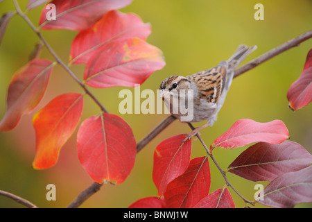 Chipping Sparrow (Spizella passerina), adult on Crape Myrtle (lagerstroemia), San Antonio, Hill Country, Central - Stock Photo