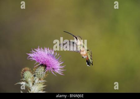Lucifer Hummingbird (Calothorax lucifer), female feeding on Texas thistle, Chisos Mountains, Big Bend National Park, - Stock Photo