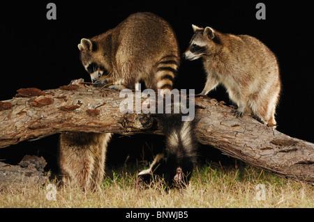Northern Raccoon (Procyon lotor), adults at night among Striped Skunk (Mephitis mephitis), Coastal Bend, Texas Coast, - Stock Photo