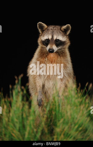 Northern Raccoon (Procyon lotor), adult at night standing on hind legs, Fennessey Ranch, Refugio, Coastal Bend, - Stock Photo