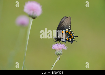 Pipevine Swallowtail (Battus philenor),adult feeding on Texas thistle (Cirsium texanum), Coastal Bend, Texas Coast, - Stock Photo