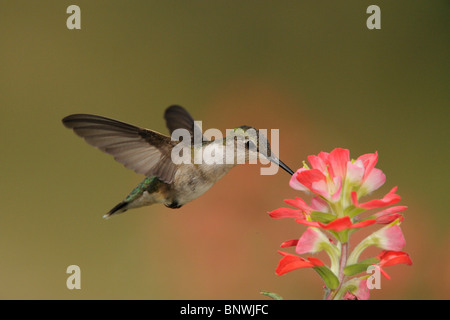 Ruby-throated Hummingbird (Archilochus colubris), female feeding on Texas Paintbrush, Coastal Bend, Texas Coast, - Stock Photo