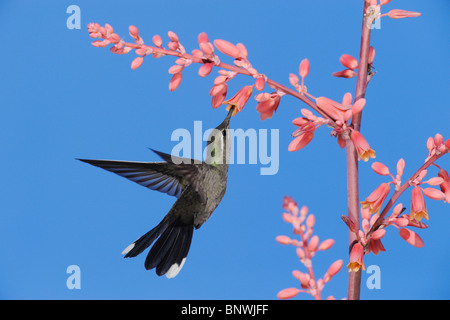 Blue-throated Hummingbird (Lampornis clemenciae), male in flight feeding on Red Yucca, Big Bend National Park, Texas - Stock Photo