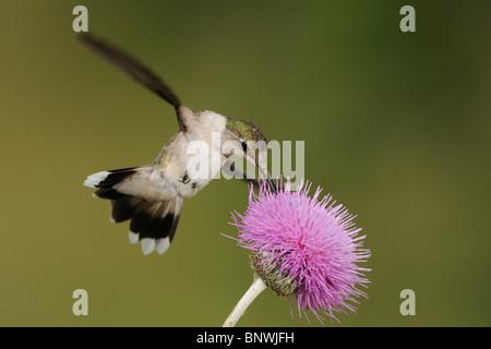Ruby-throated Hummingbird (Archilochus colubris), female feeding on Texas thistle, Coastal Bend, Texas Coast, USA - Stock Photo