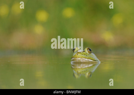 Bullfrog (Rana catesbeiana), adult in lake, Fennessey Ranch, Refugio, Coastal Bend, Texas Coast, USA - Stock Photo