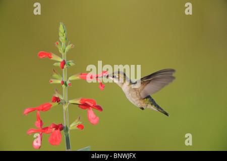 Ruby-throated Hummingbird (Archilochus colubris), female feeding on blooming Red Sage, Corpus Christi, Coastal Bend, - Stock Photo