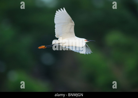 Snowy Egret (Egretta thula), adult in flight, Fennessey Ranch, Refugio, Corpus Christi, Coastal Bend, Texas Coast, - Stock Photo