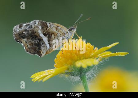 Texan Crescent (Phyciodes texana)(Anthanassa texana), adult on Huisache Daisy,Corpus Christi, Coastal Bend, Texas - Stock Photo