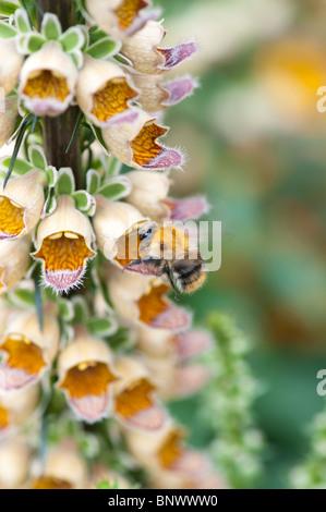Common Carder bumble bee feeding on Digitalis ferruginea. Rusty foxglove - Stock Photo