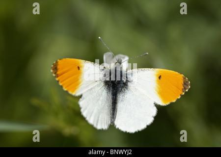 Orange-tip, Anthocharis cardamines butterfly - Stock Photo