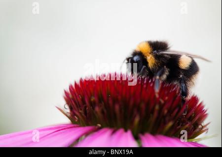 Bumble bee, bombus lucorum, feeding on an echinacea purpurea flower against a white background - Stock Photo