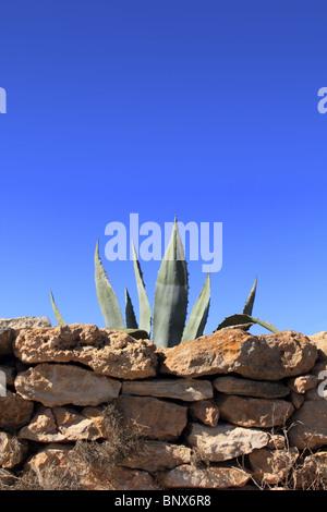 agave pitera mediterranean plant behind stone wall masonry - Stock Photo