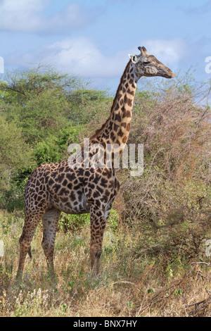 Masai giraffe (Giraffa camelopardalis tippelskirchi). - Stock Photo
