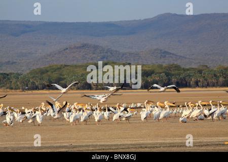 Great White Pelican (Pelecanus onocrotalus) flying away at Lake Eyasi, Tanzania - Stock Photo