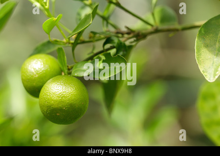 fresh green oranges on tree in malaysian orchard - Stock Photo