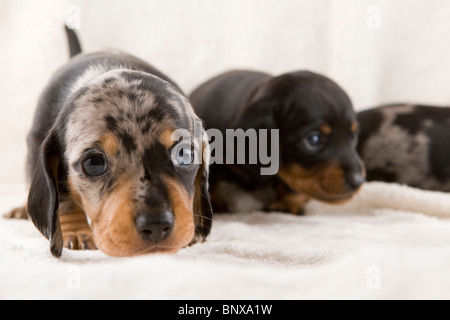 Two week old litter of dapple Dachshund puppies. - Stock Photo