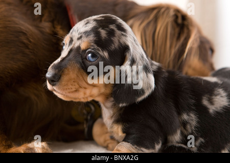 Two week old dapple Dachshund puppies. - Stock Photo