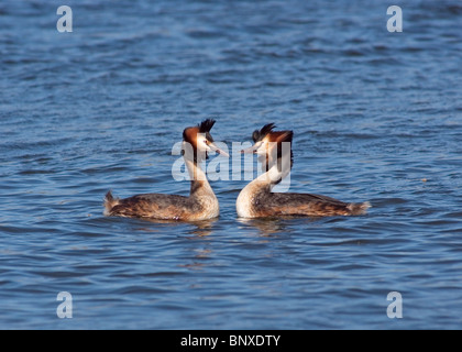 Great crested Grebes  Podiceps cristatus performing courtship dance, photographed at  Marton Mere nature reserve - Stock Photo