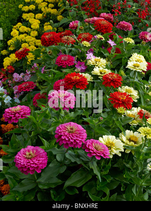 Superieur A Close Up Details Of Colourful Zinnias In The Flower Garden At Bouges    Stock Photo