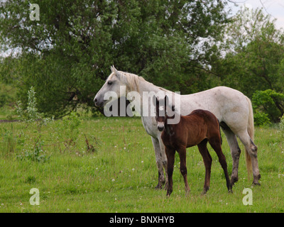 Mare and foal grazing on the marshes - Stock Photo