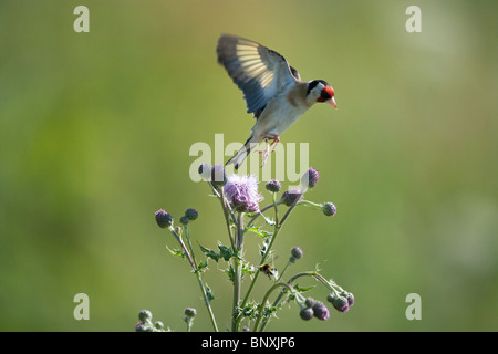 Goldfinch Carduelis carduelis in Flight on thistles - Stock Photo