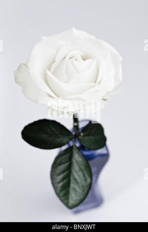 Single White Rose - Stock Photo