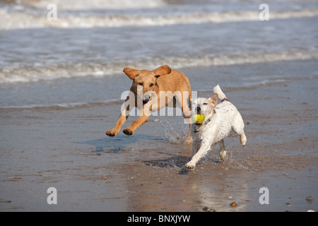Yellow Labrador Puppy and Jack Russell Terrier running on beach - Stock Photo