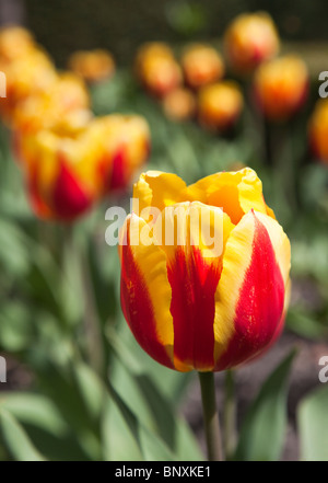 Red and yellow tulip in garden border England UK - Stock Photo