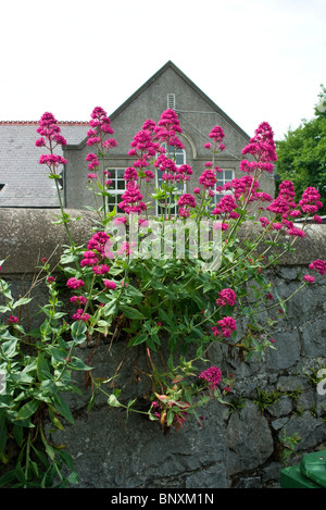 Red Valerian flowers typically growing out of a rubble stone wall in Skerries, north county Dublin, Ireland - Stock Photo