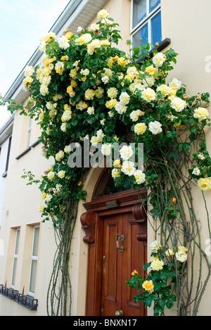 An abundant display of yellow roses makes an arch over a door of a house in the seaside town of Skerries, county - Stock Photo