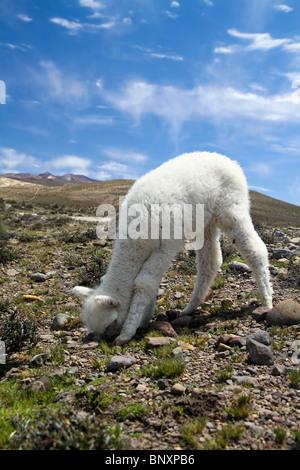 View of cute llama babies eating in the sierra of Peru. - Stock Photo