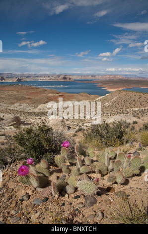 Beavertail Cactus Opuntia basilaris in flower with Lake Powell behind near Page in Arizona USA on a sunny summer - Stock Photo