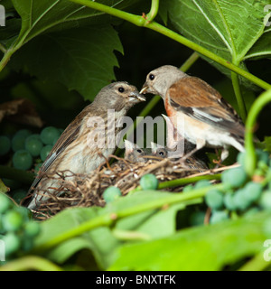 The nest of a Linnet (Acanthis cannabina, Carduelis) with baby birds in the nature. - Stock Photo