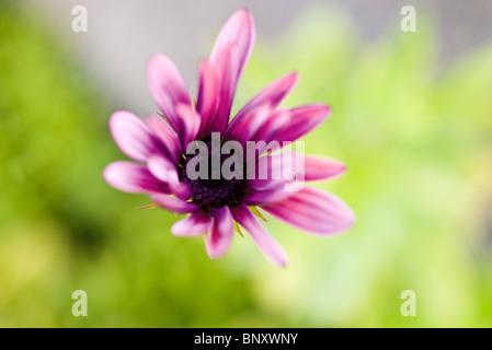 Single osteospermum (African daisy) - Stock Photo