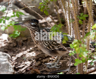 Greater Roadrunner Geococcyx californianus in undergrowth Texas USA - Stock Photo