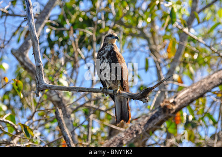 Immature Snail Kite - Rostrhamus sociabilis - La Tovara Refuge, Nayarit, Mexico - Stock Photo