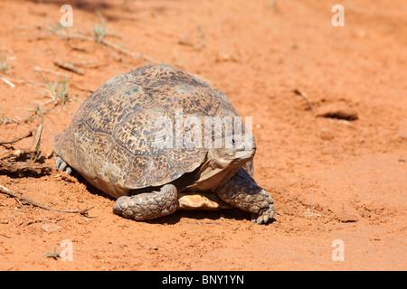 Leopard (Mountain) Tortoise, Geochelone pardalis, Kgalagadi transfrontier park, South Africa - Stock Photo