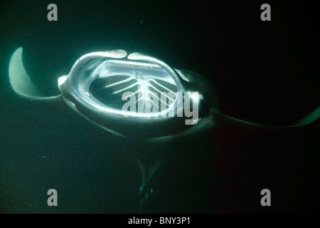 A giant manta ray during night time feeding frenzy with wide open mouth and gills. - Stock Photo