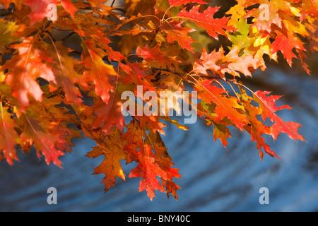 Oak Leaves and Pond, Acadia National Park, Maine, USA - Stock Photo
