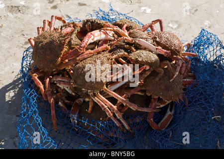 Freshly caught spiny spider crabs - Stock Photo