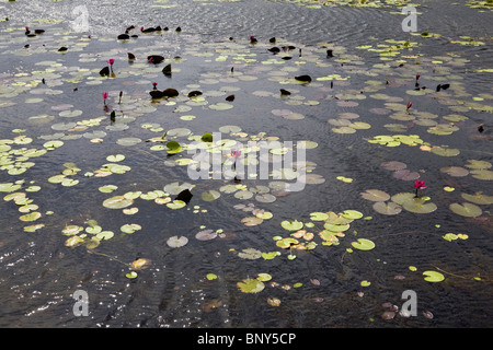 Water lilies on the surface of a lake, Con Son Island, Vietnam - Stock Photo
