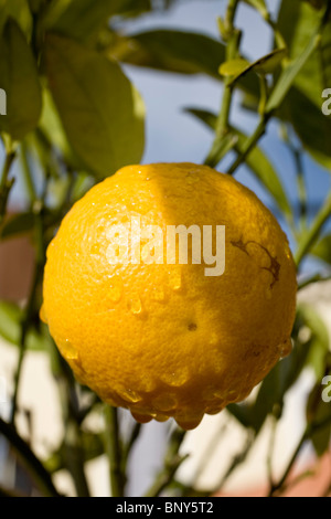 Orange growing on tree, close-up - Stock Photo