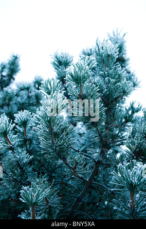 Pine branches covered in frost - Stock Photo