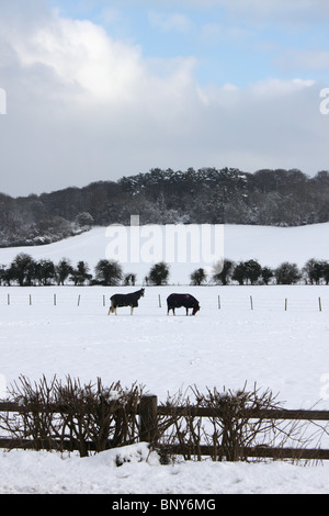 Horses in snow in field with Chiltern Hills behind at Mill End, Hambleden, Buckinghamshire, England, UK, winter - Stock Photo