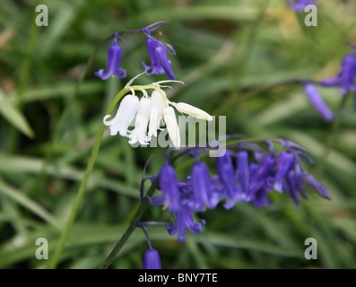 White Common Bluebells (Hyacinthoides non-scripta) amongst normal blue ones - Stock Photo