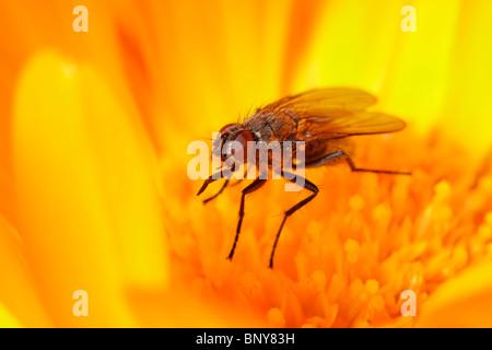 Fly on Marigold flower. Diptera. - Stock Photo
