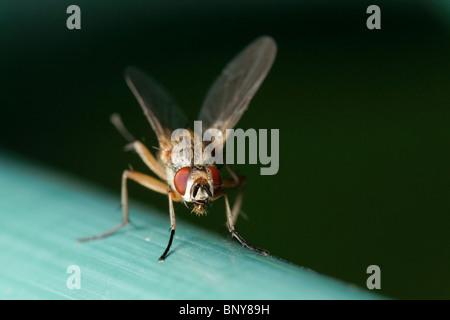 Fly. Diptera - Stock Photo