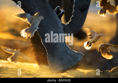 Close up of elephant 's  feet disturbing Cape Turtle Doves. Savuti ,Botswana. - Stock Photo