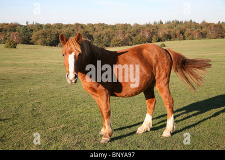 Wild New Forest Pony  grazing on the moorland in the New Forest, Hampshire, UK - Stock Photo